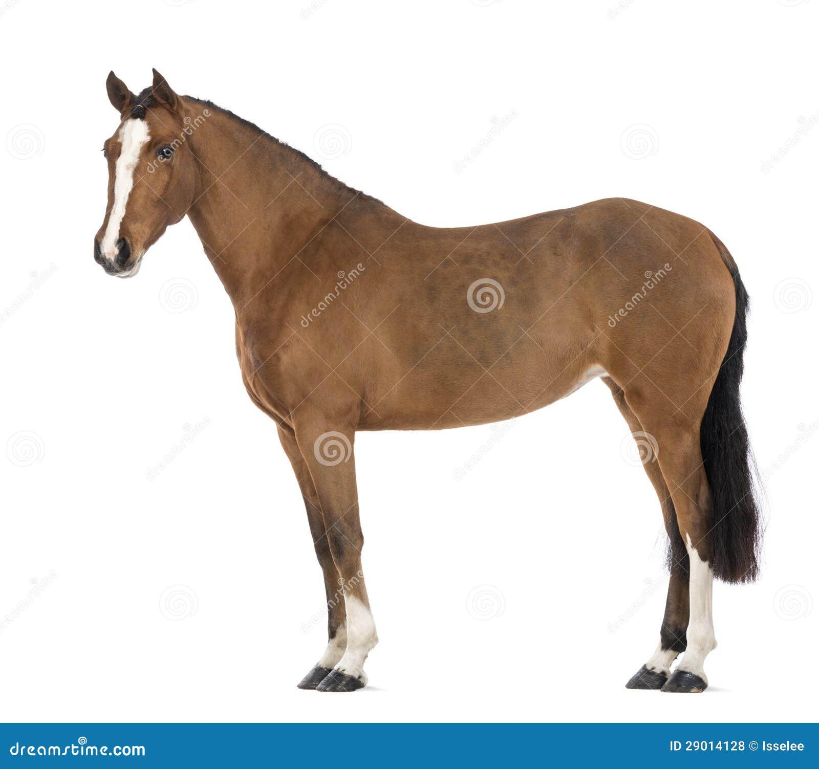 一个女性安达卢西亚人,3岁,亦称纯西班牙马的侧视图或者前空白背景.