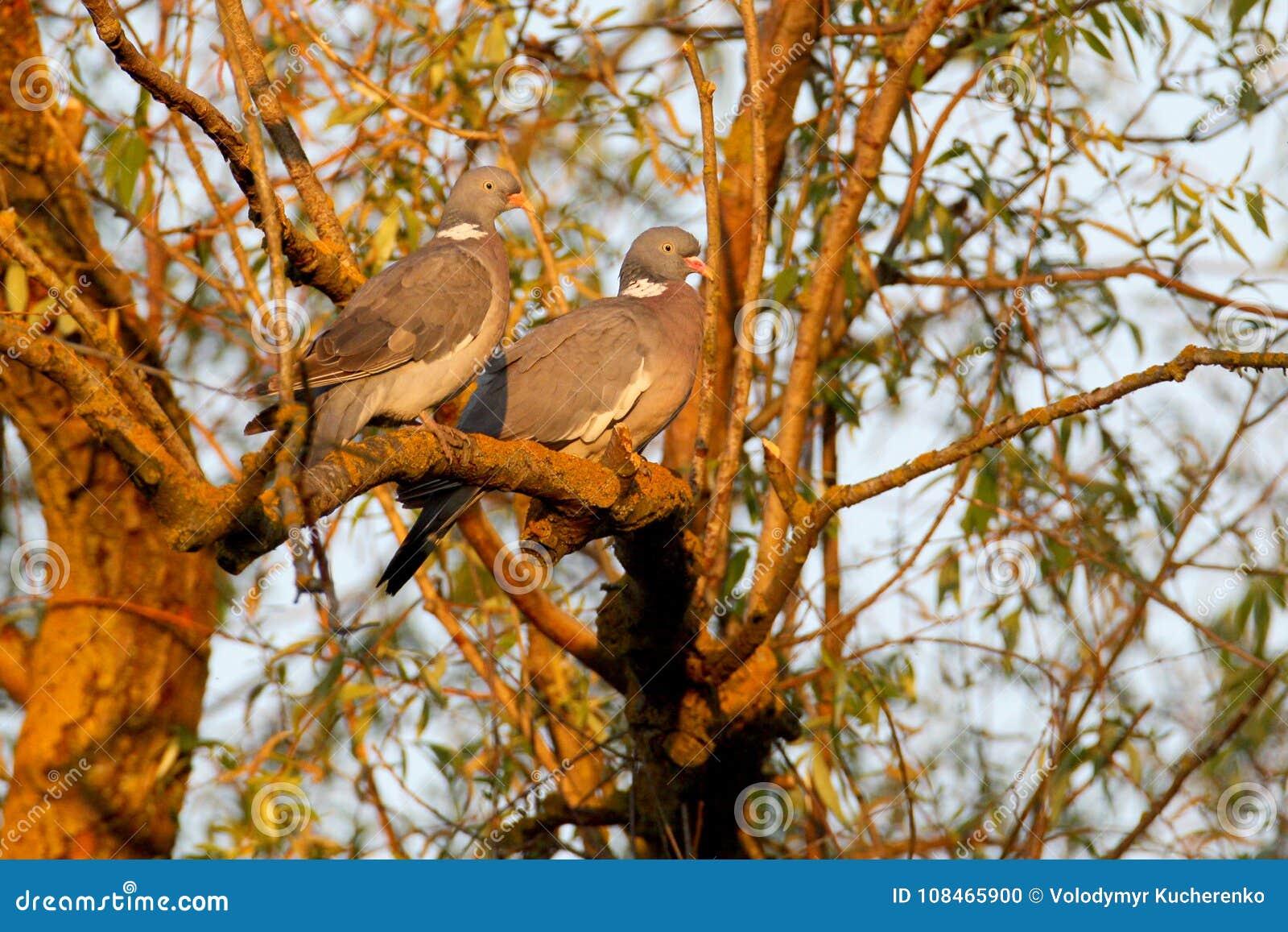 一个对共同的斑尾林鸽