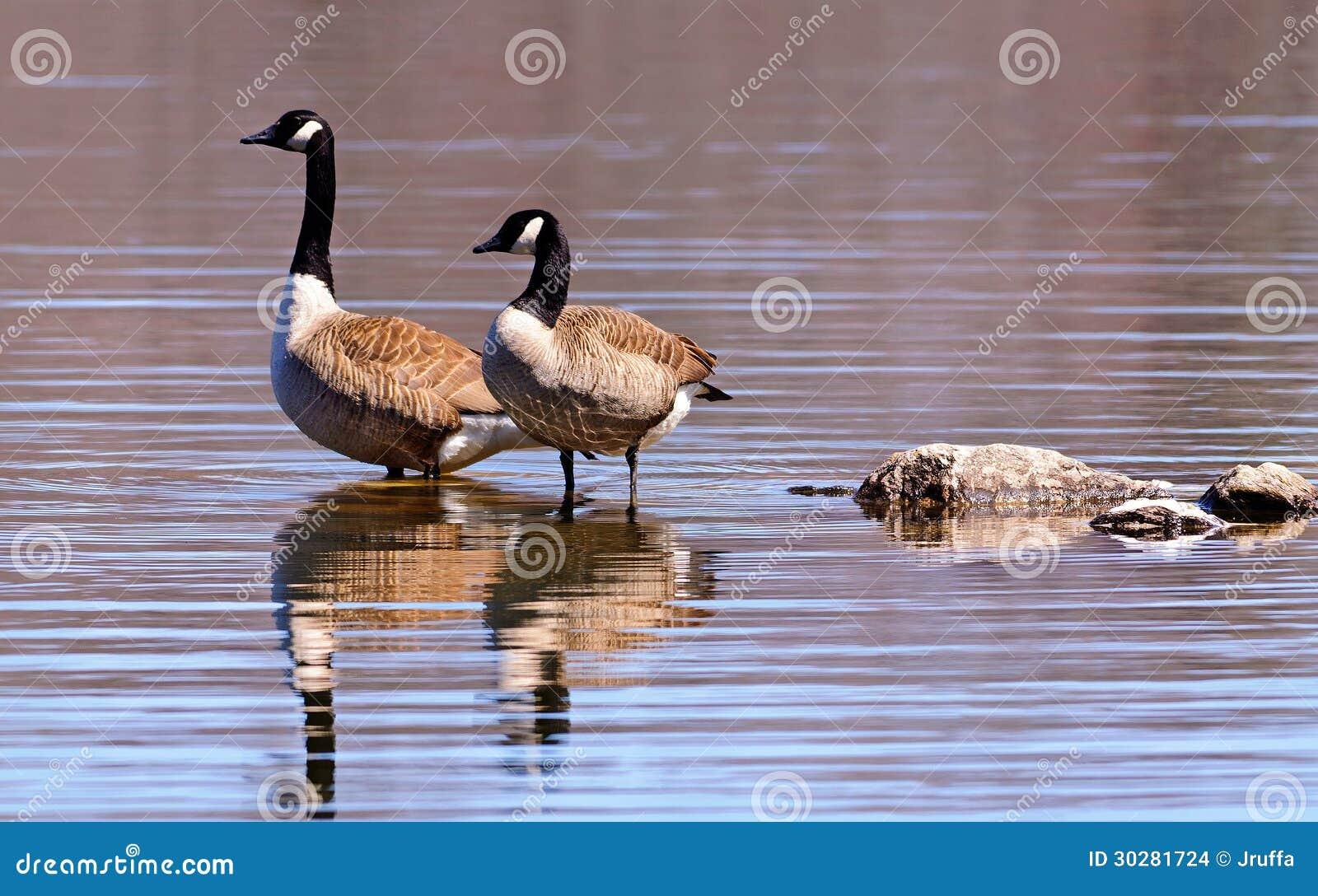 趟过在湖的加拿大鹅