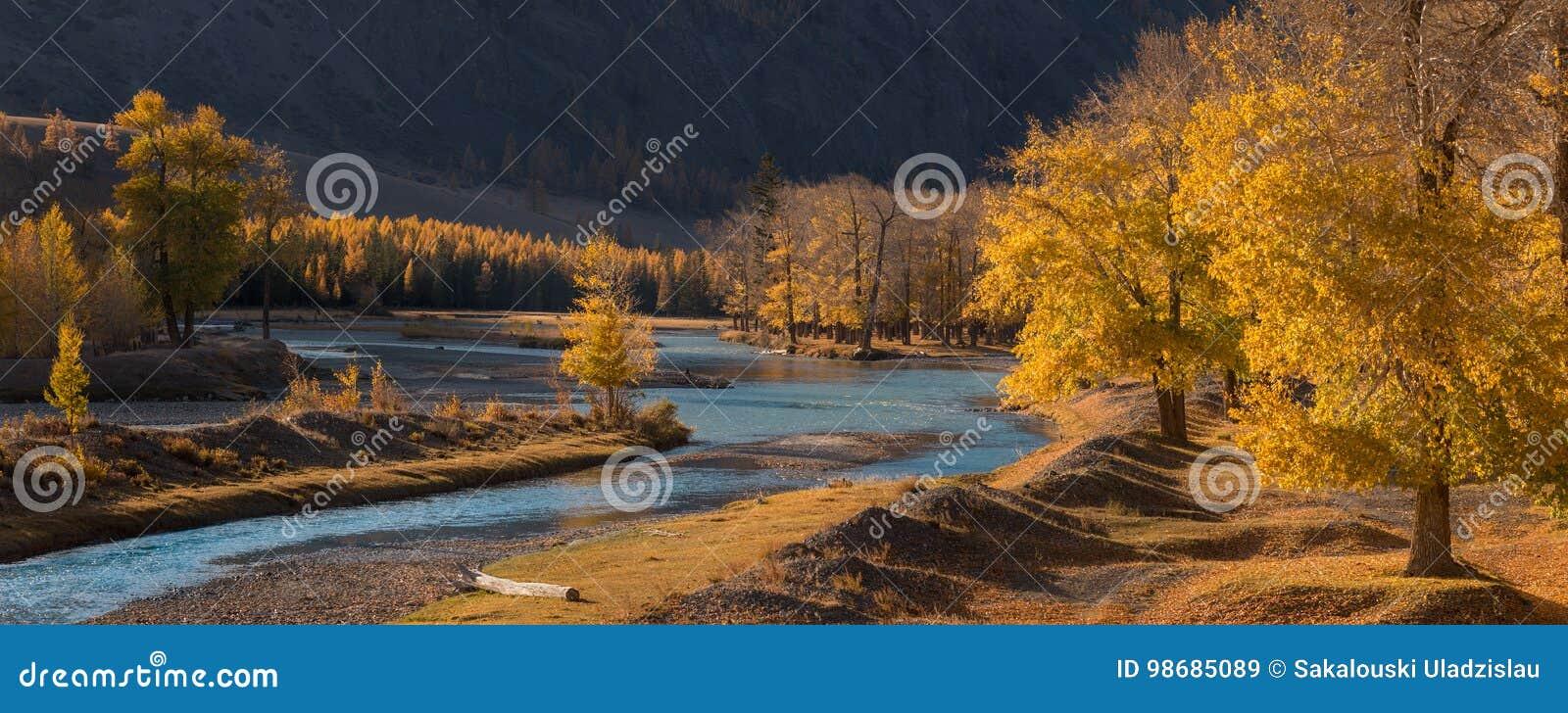 一个山谷,黄色落叶松属和白杨树树丛,升的秋天全景风景与鲜绿色河的在太阳之前 秋天森林W