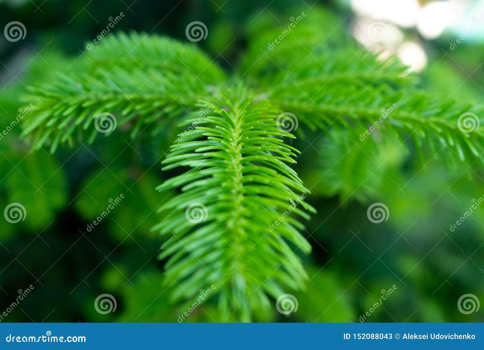 一个年轻杉木分支的照片在宏指令的与软的焦点