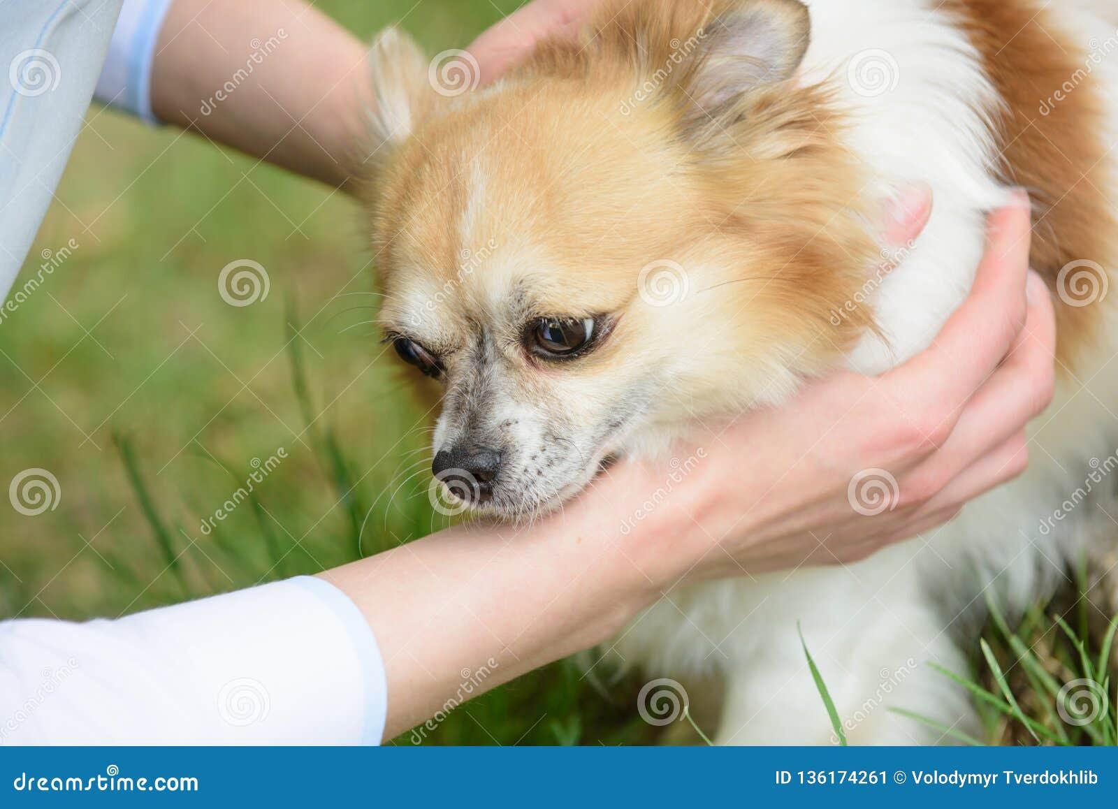 一个忠实的伴侣 所有者手举行的Pomeranian波美丝毛狗 Pomeranian波美丝毛狗在自然的狗步行 家谱狗 狗宠物