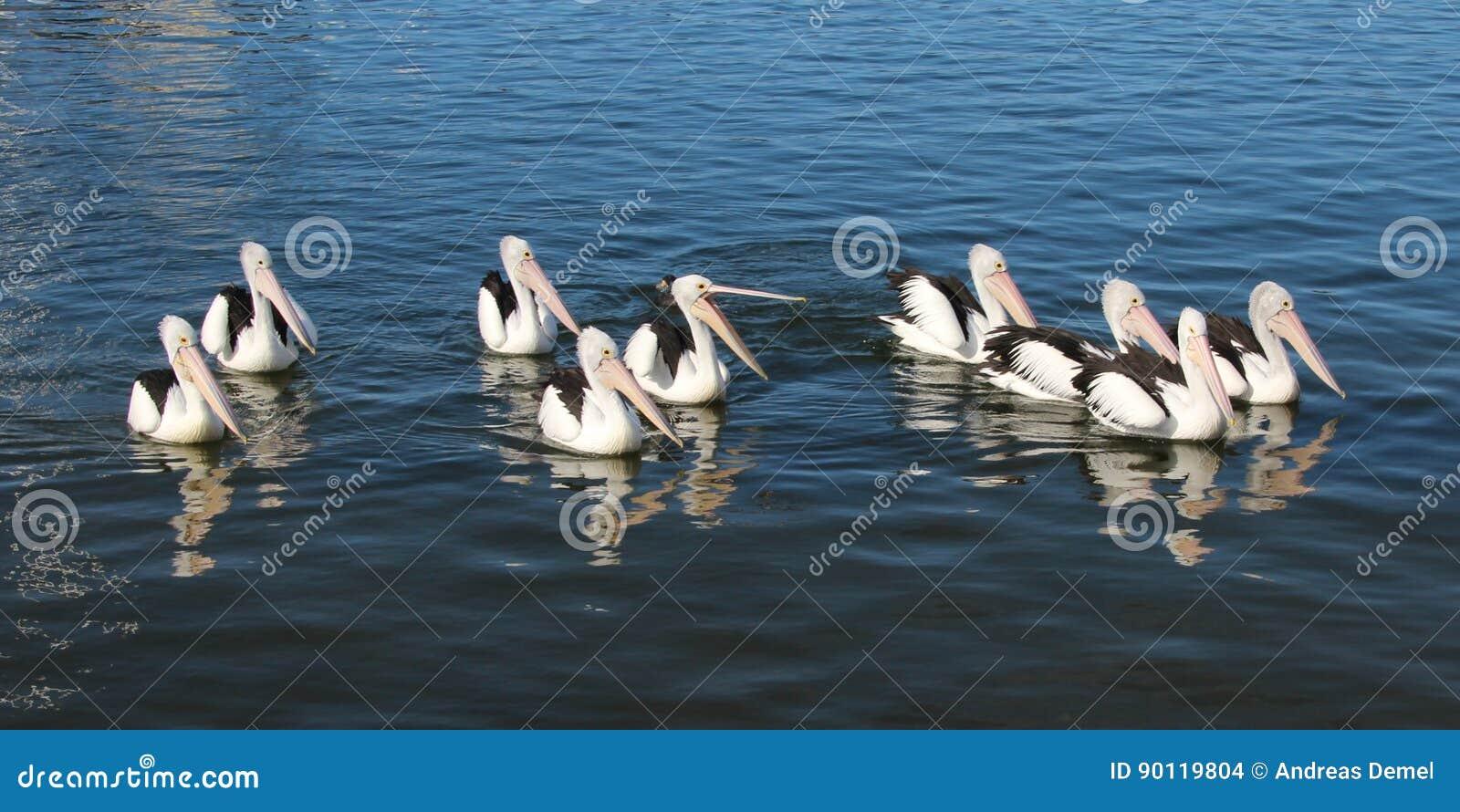 一个游泳的小组鹈鹕