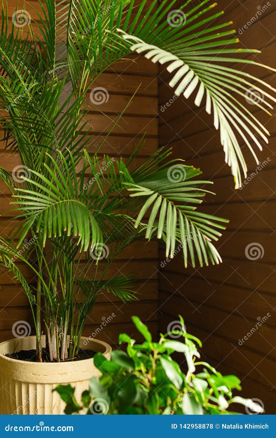 一个罐的一棵大绿色热带棕榈树植物在保存性音乐学院里 在内部的花