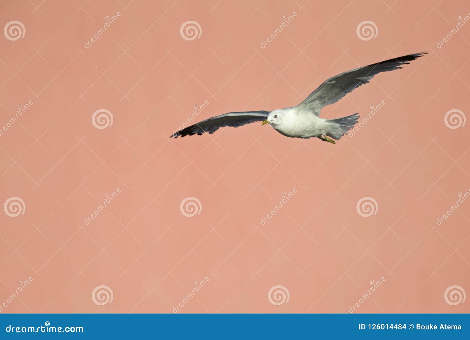一只共同的鸥或喵喵叫鸥鸥属canus水泥桃红色墙壁的飞行infront在布里曼德国港的