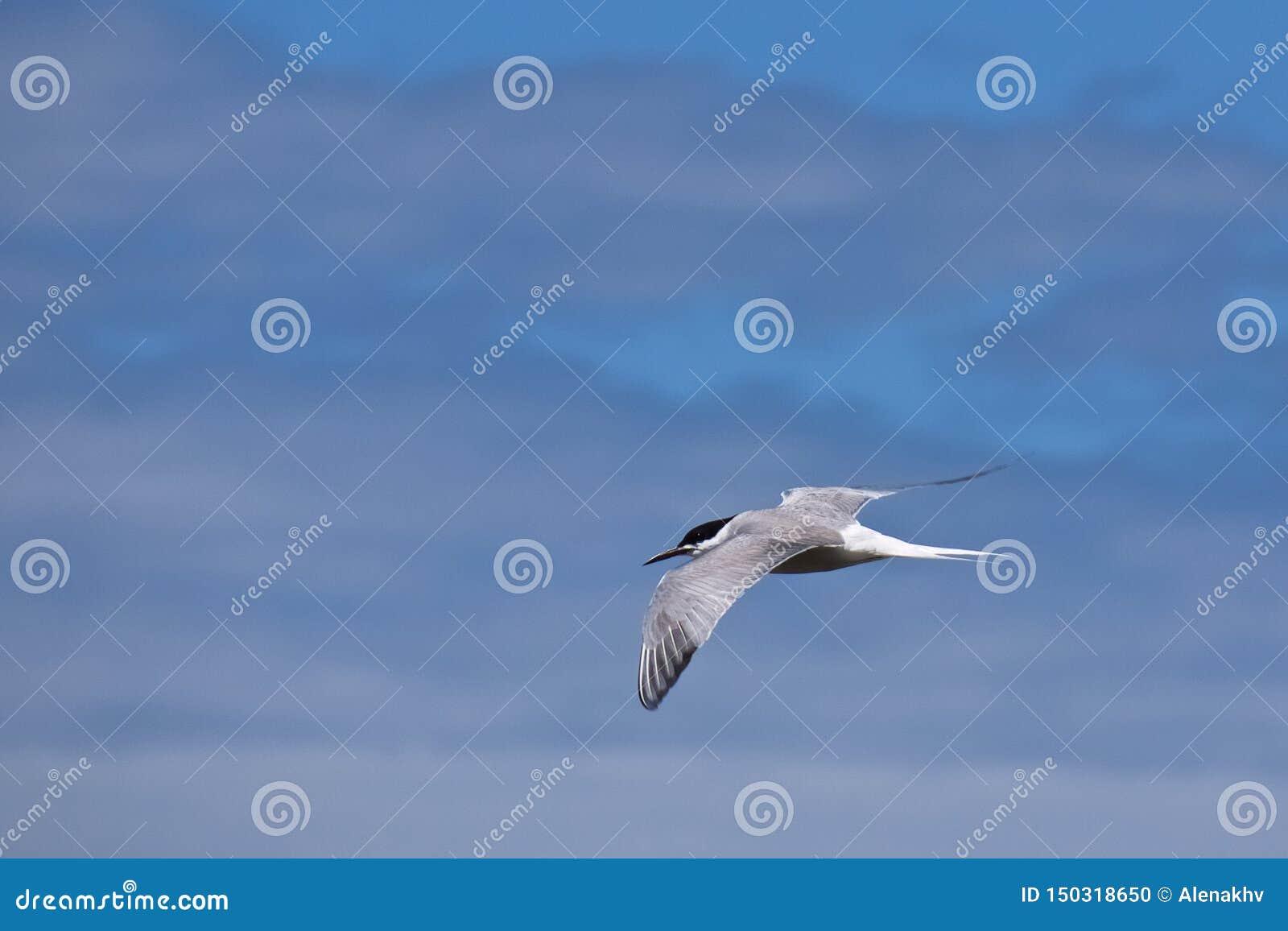 一只北极燕鸥在被弄脏的天空蔚蓝背景中,