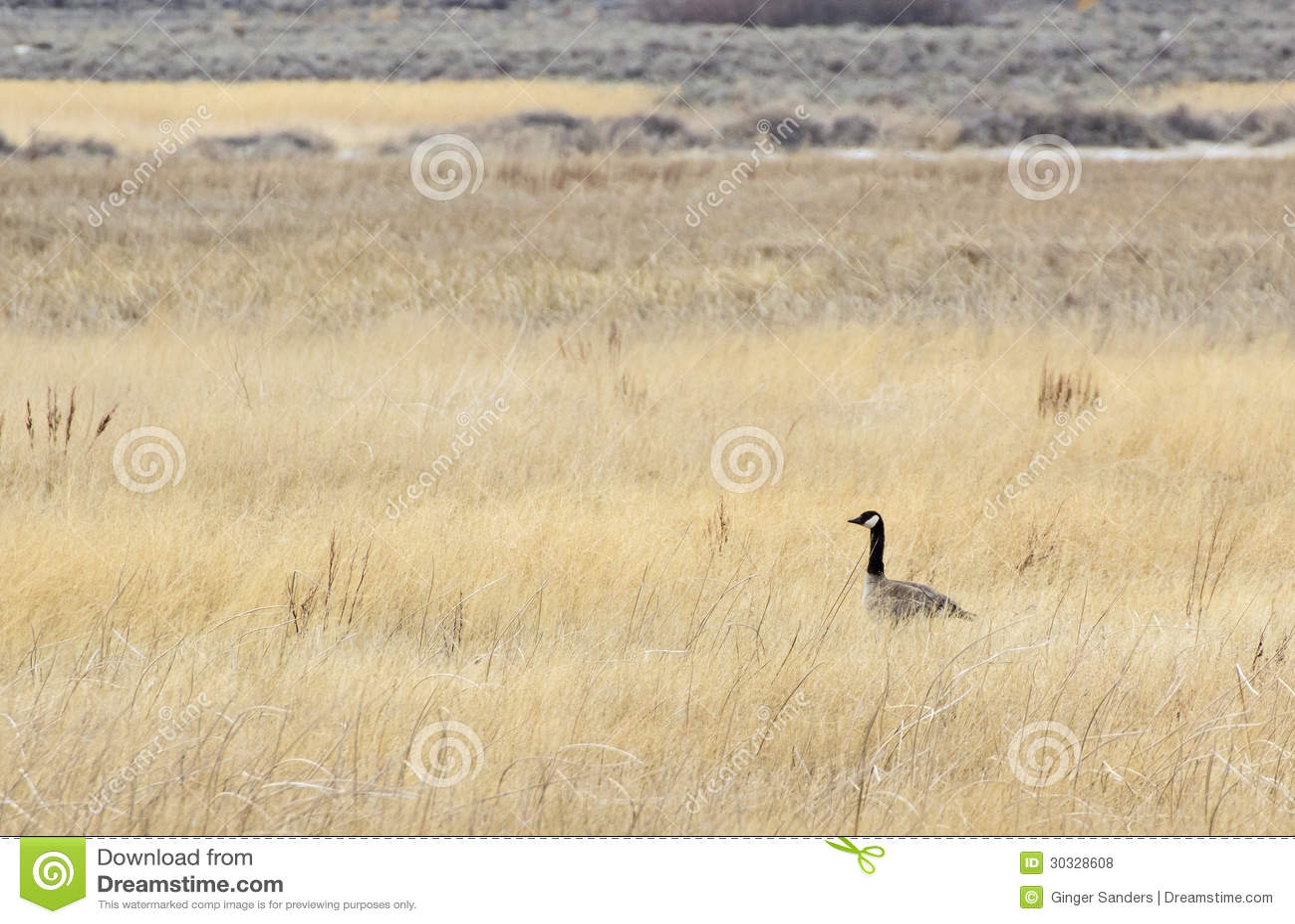 在高草地的唯一加拿大鹅