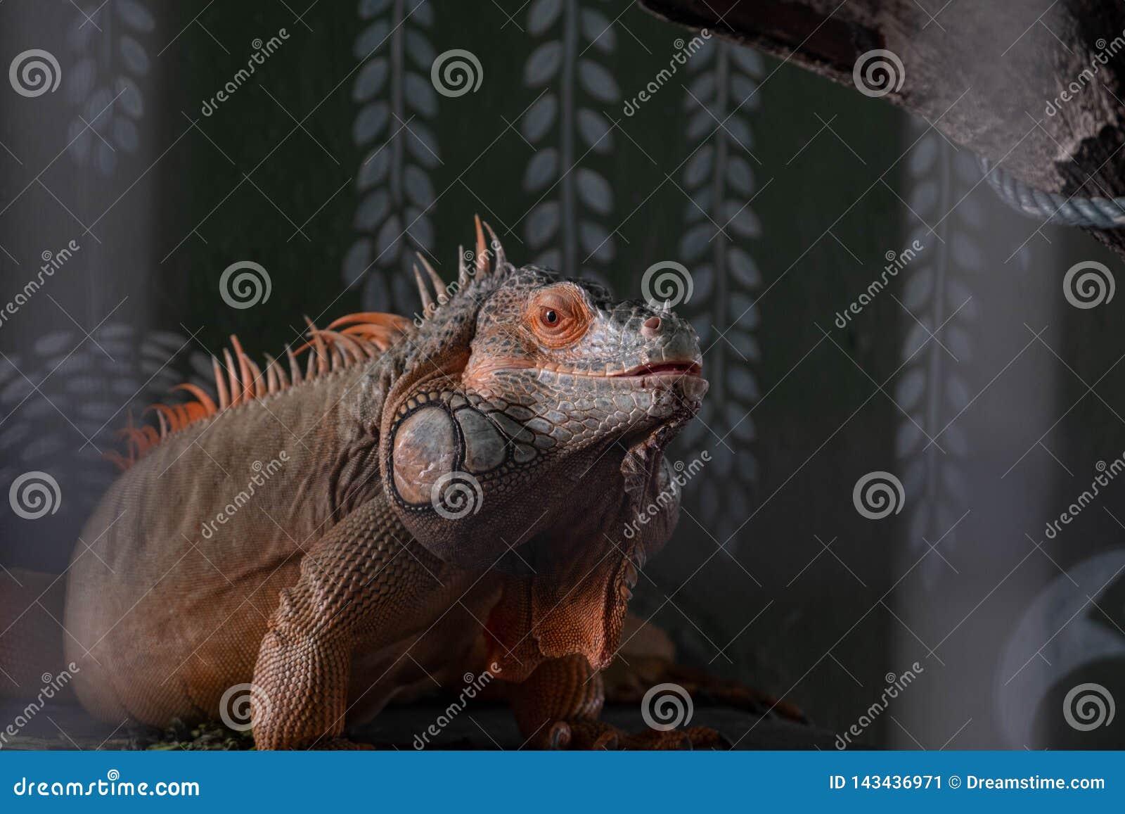 一只地方马来西亚鬣鳞蜥在它的栖所坐栖息