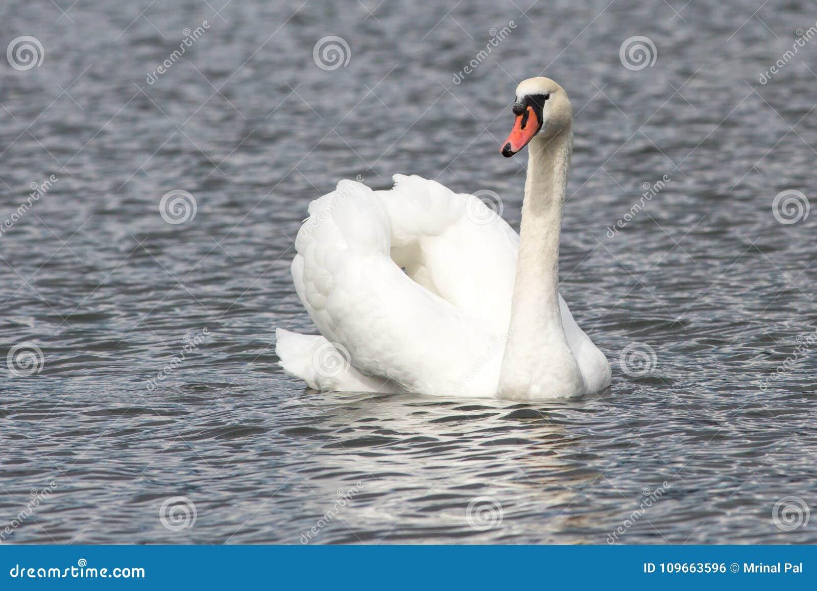 一只天鹅在湖
