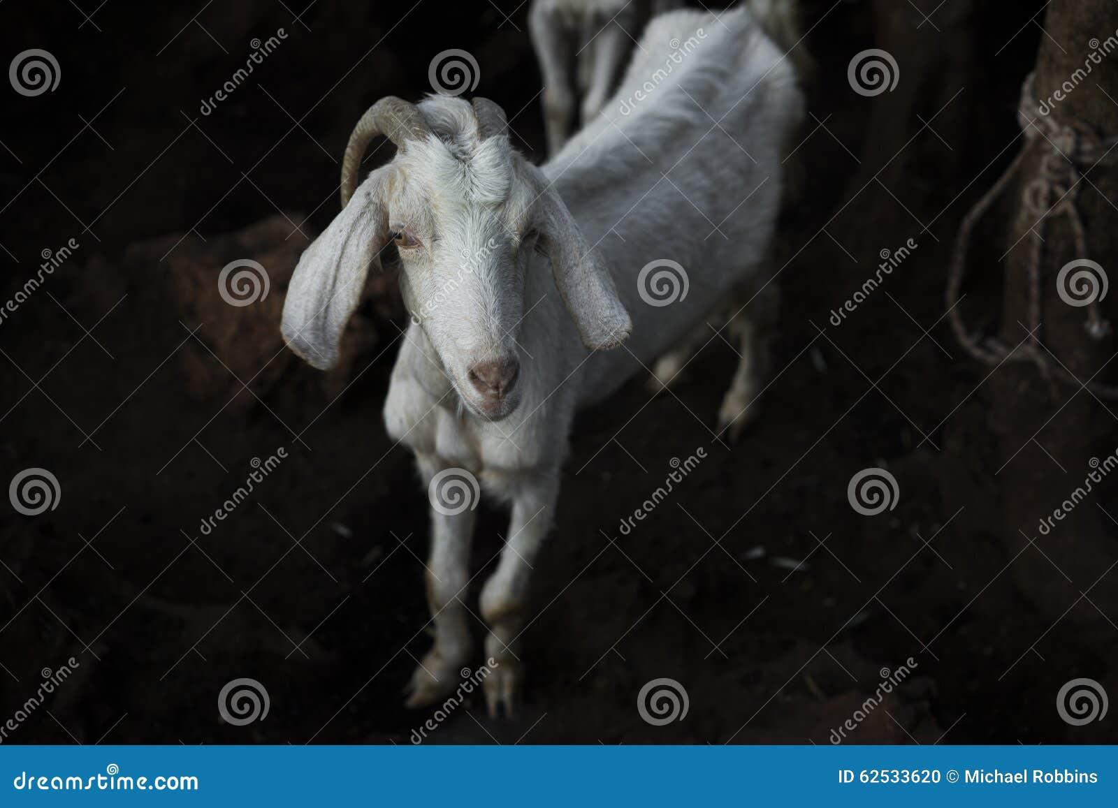 一只山羊在晚上