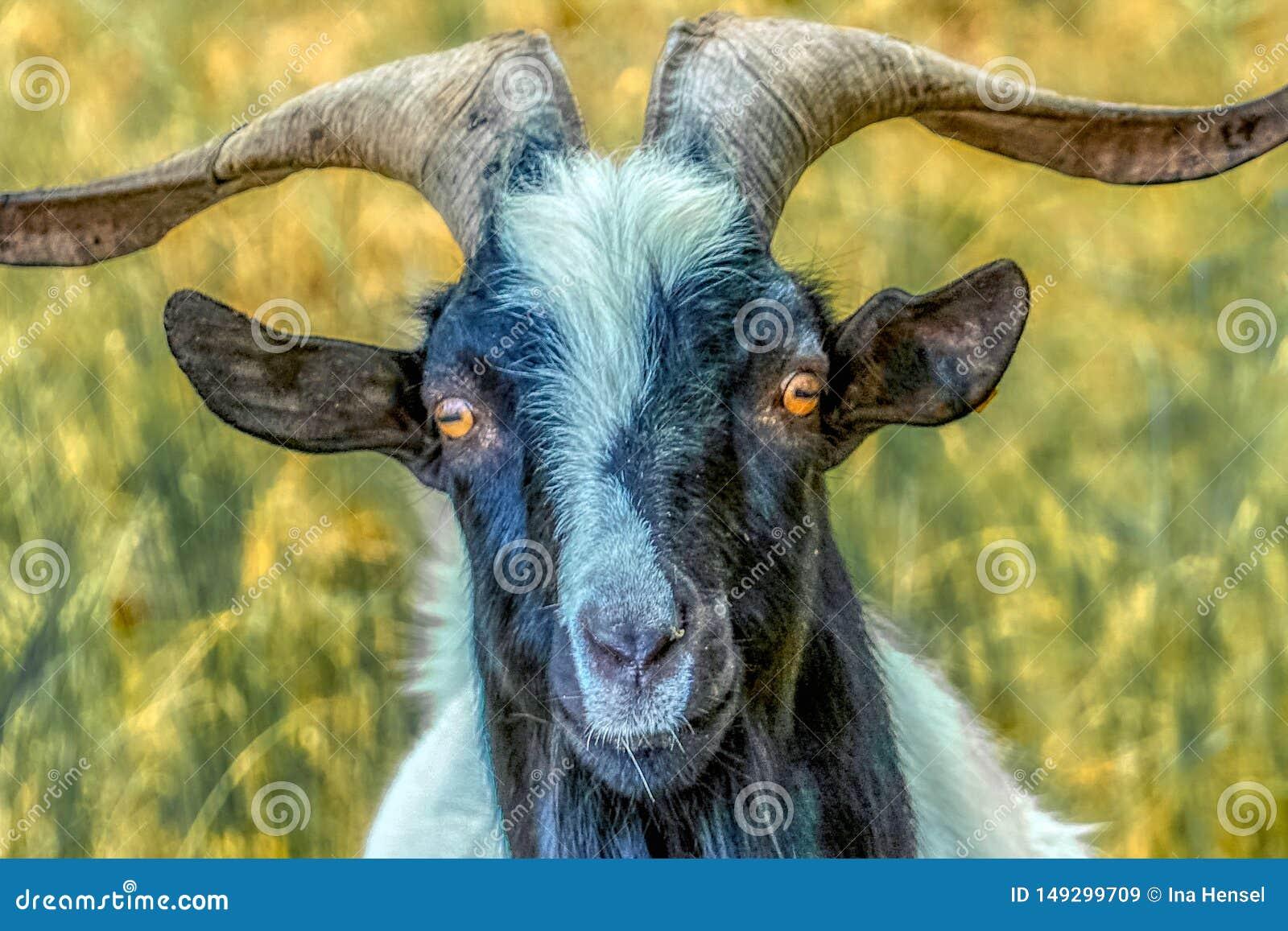一只山羊的画象与橙色眼睛的
