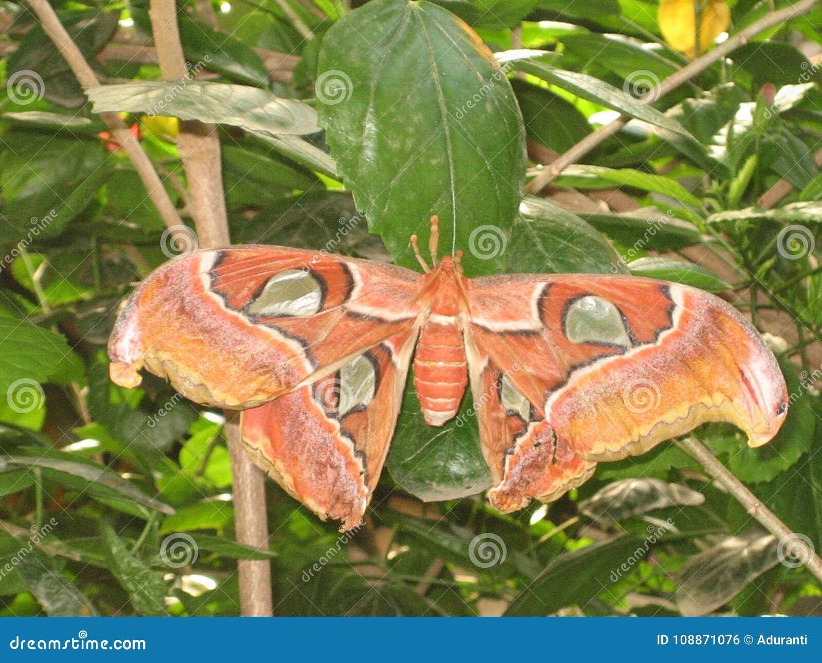 一只巨型热带蝴蝶的细节与大橙色翼的