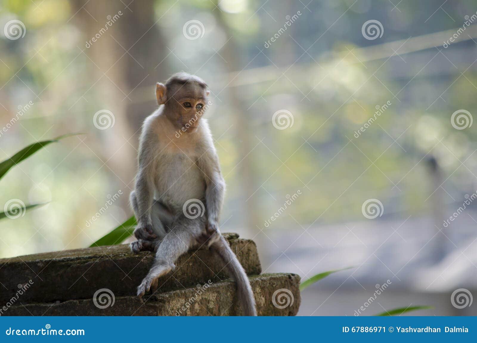 一只幼小帽子短尾猿猴子的图象的关闭