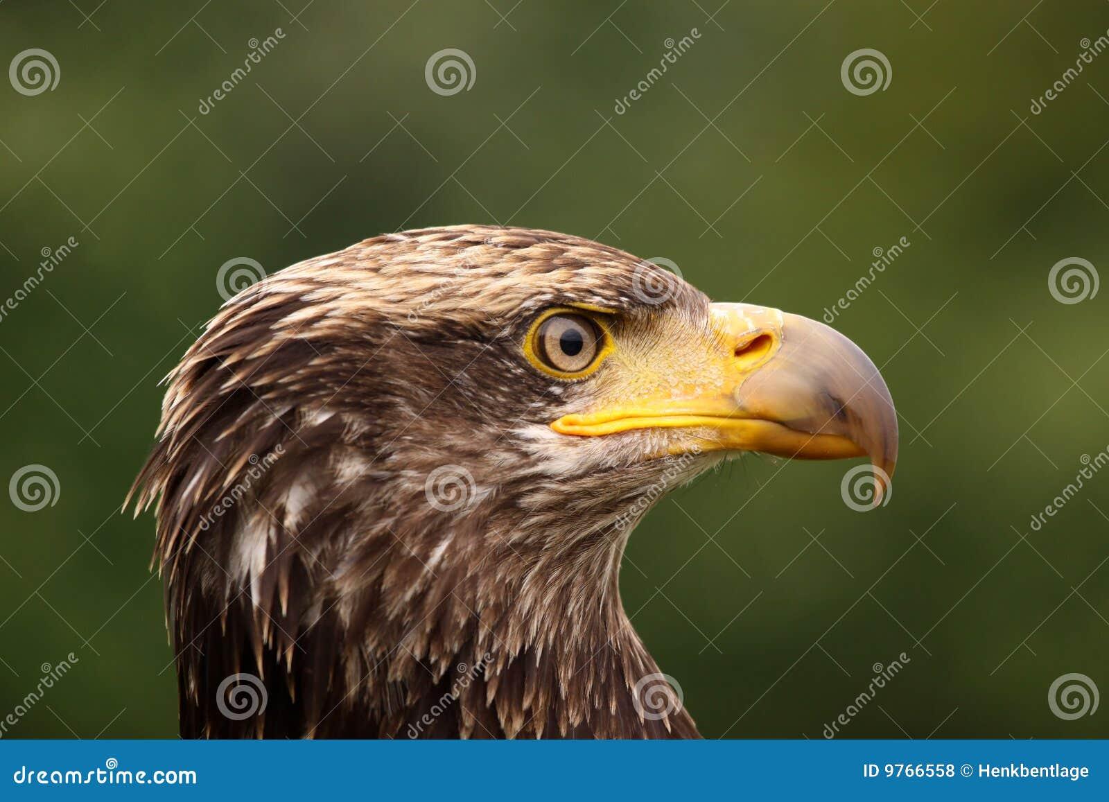 一只幼小白头鹰的纵向