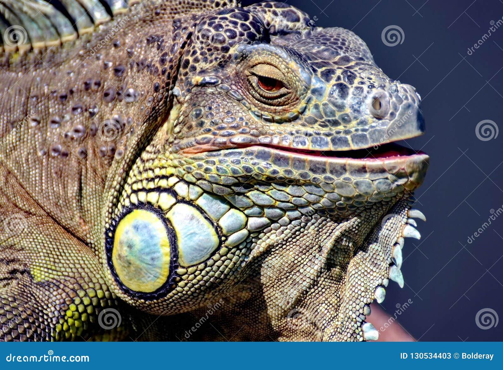 一只普通的鬣鳞蜥或者一只绿色鬣鳞蜥是一只大食草蜥蜴,带领每日木质的生活