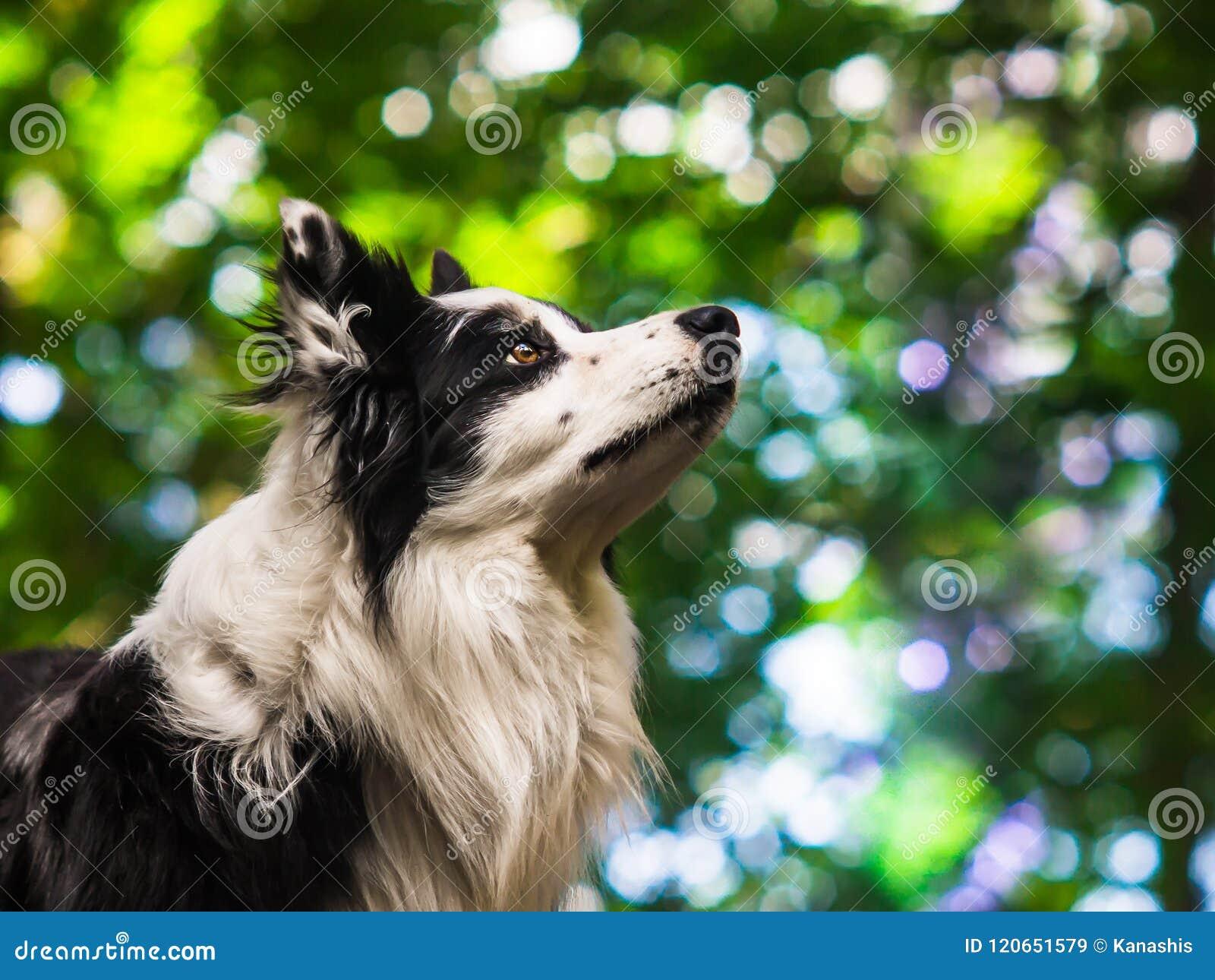 一只服从的黑白博德牧羊犬的画象,顶头射击