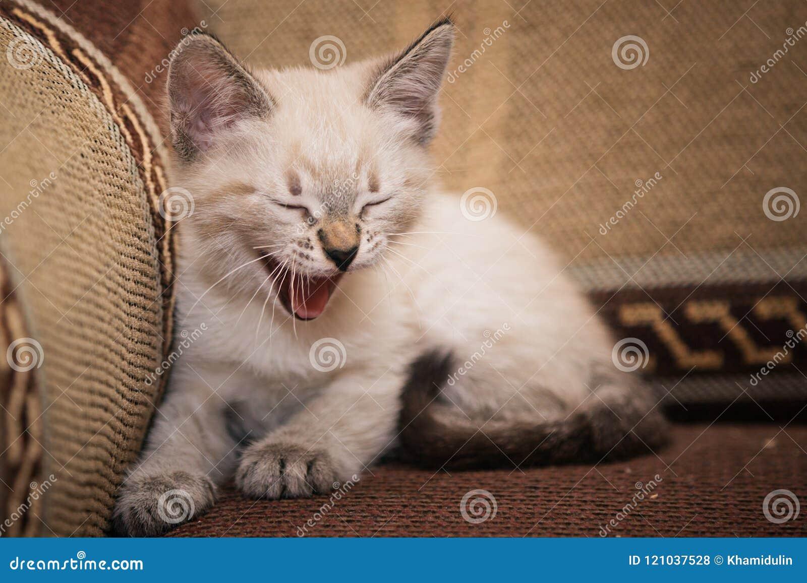 一只滑稽的灰色小猫坐沙发和逗人喜爱的神色在您