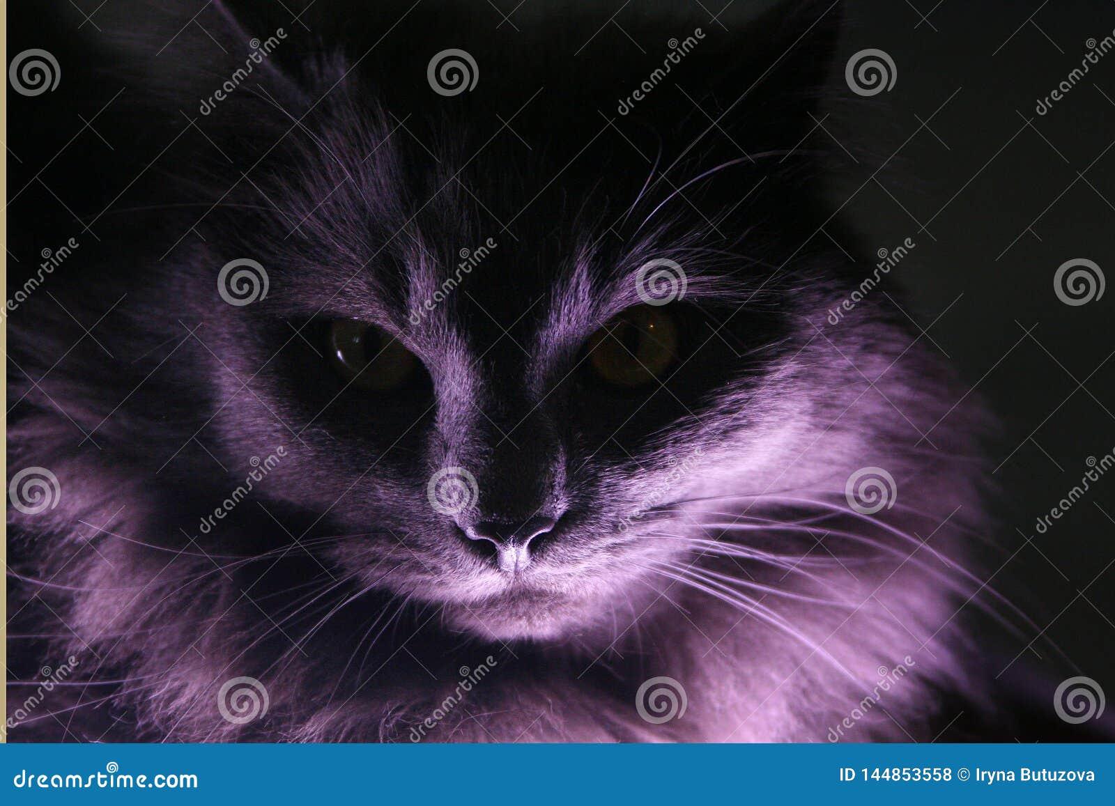 一只灰色长发猫的画象