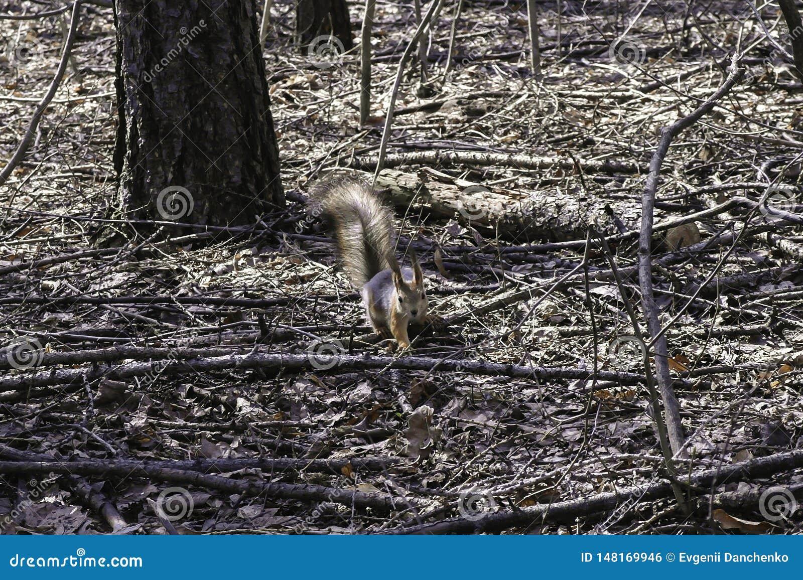 一只灰鼠在森林里