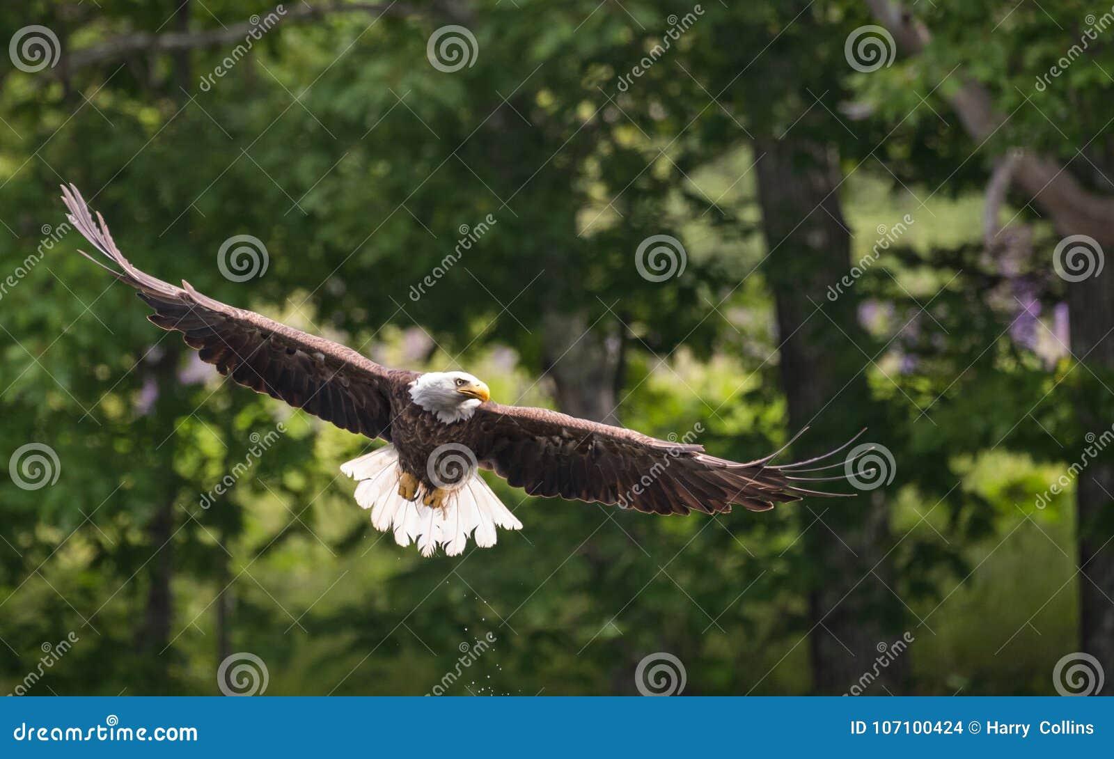 一只白头鹰在缅因