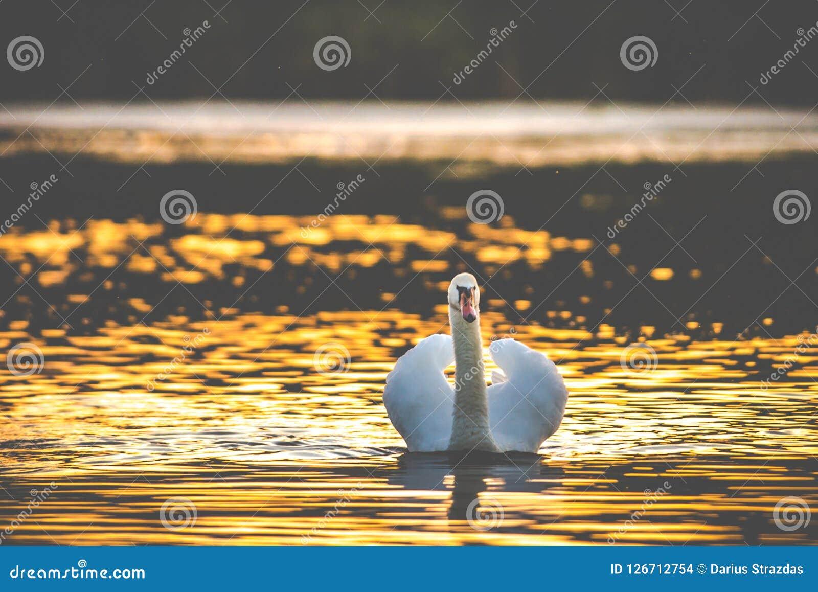 一只白色疣鼻天鹅在湖