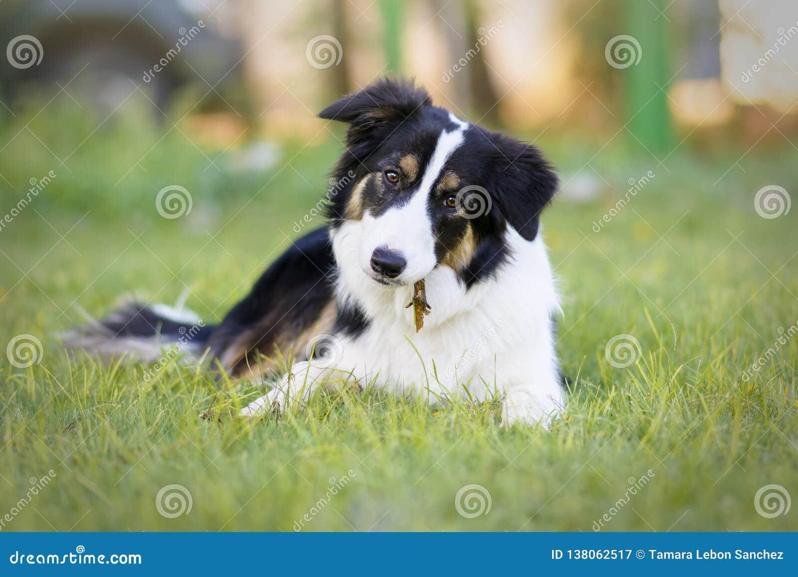 一只美丽的幼小博德牧羊犬小狗的画象