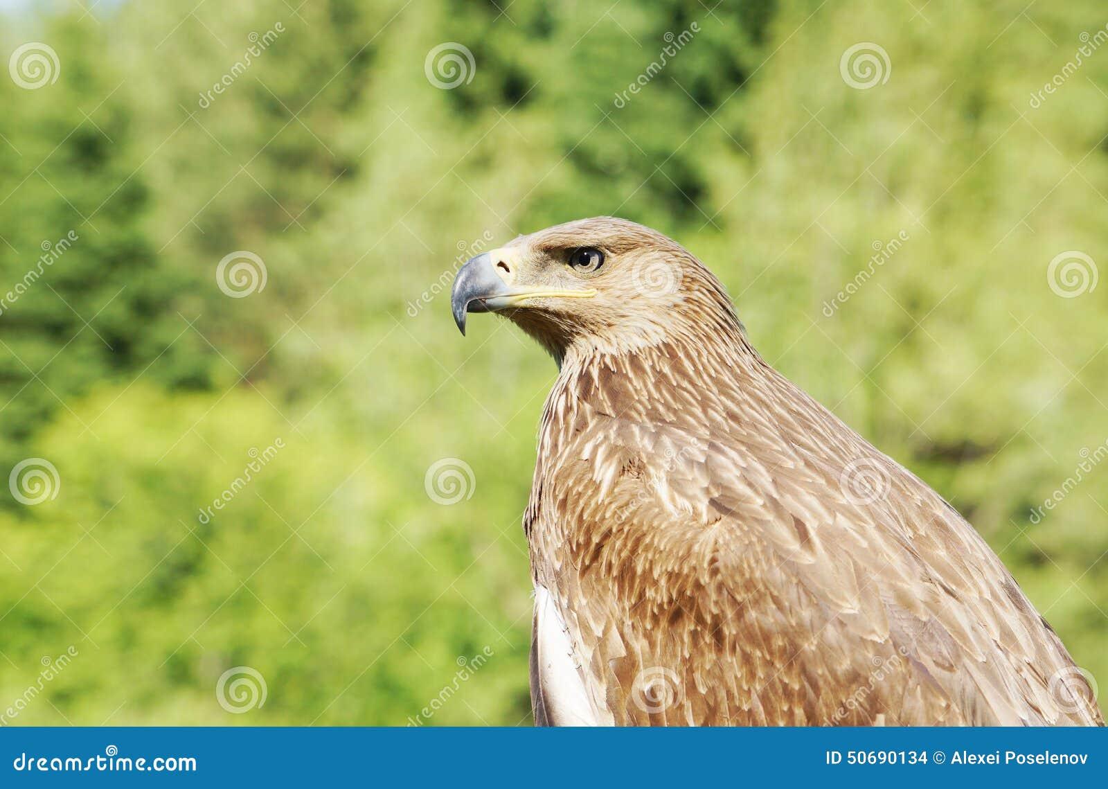 Download 一只老鹰的外形反对绿色叶子的 库存照片. 图片 包括有 双翼飞机, 自然, 木头, 风筝, 贪婪, 掠食性 - 50690134