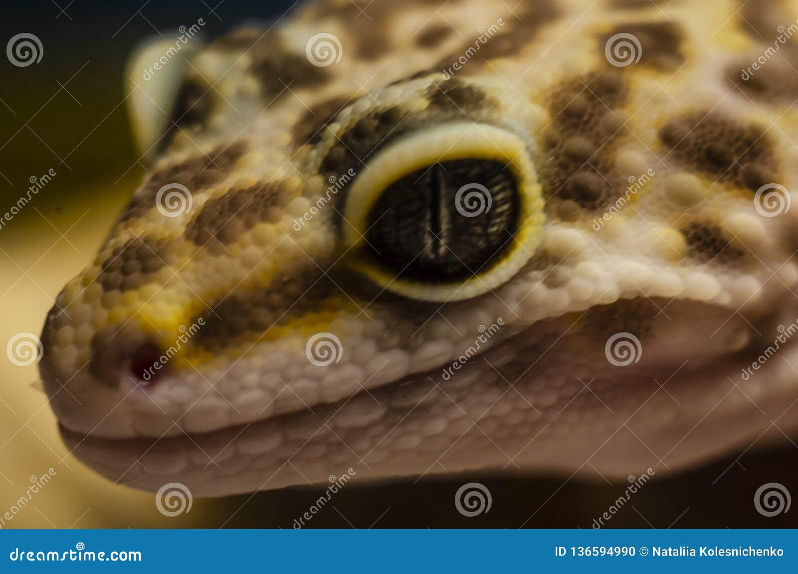 一只豹子壁虎eublephar宠物的面孔的特写镜头有软的被弄脏的背景