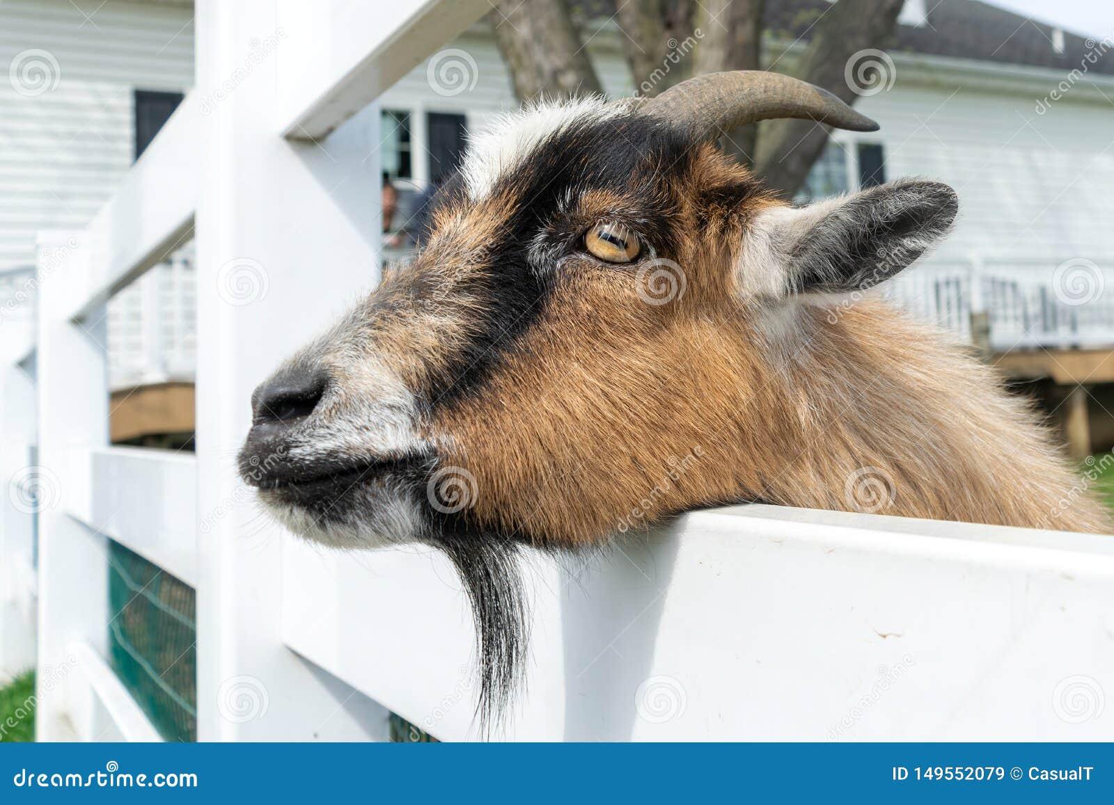 一只逗人喜爱的小棕色山羊在一个动物园偷看,虽然白色篱芭在宾夕法尼亚