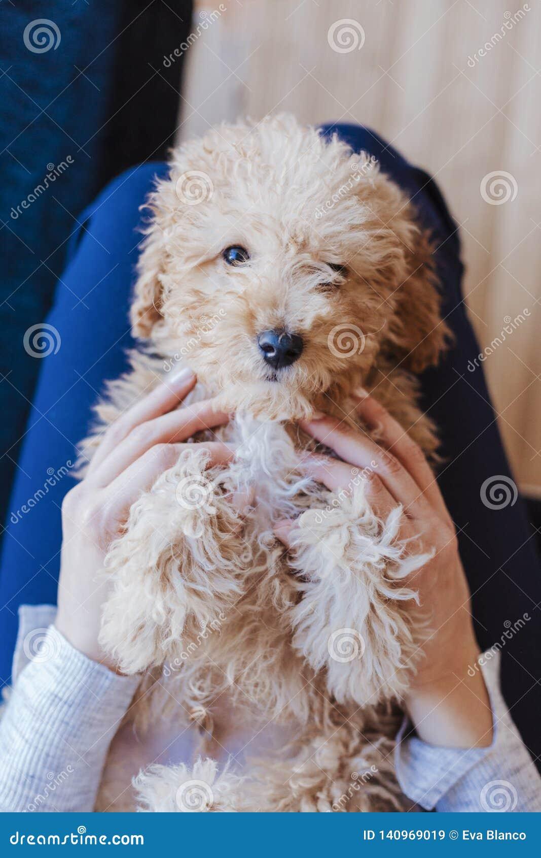 一只逗人喜爱的棕色玩具狮子狗的画象与在家他的年轻女人所有者的,白天,户内