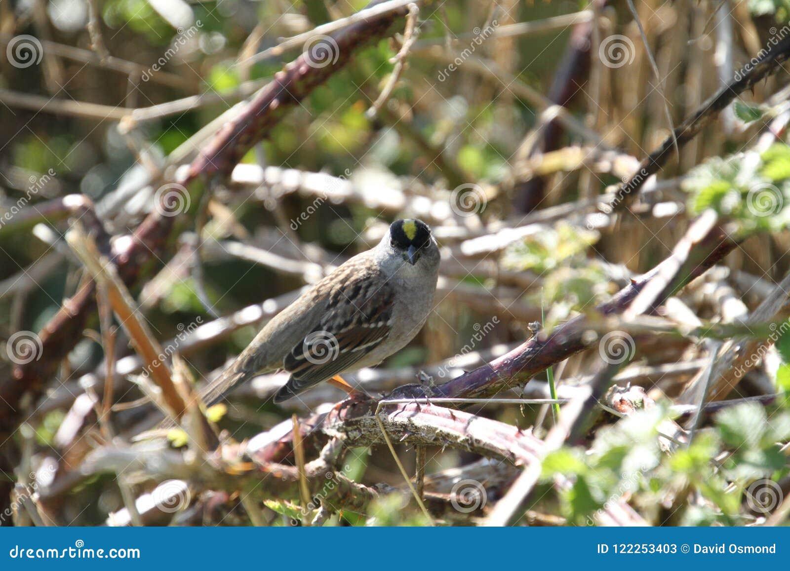 一只金黄被加冠的麻雀在黑莓藤栖息