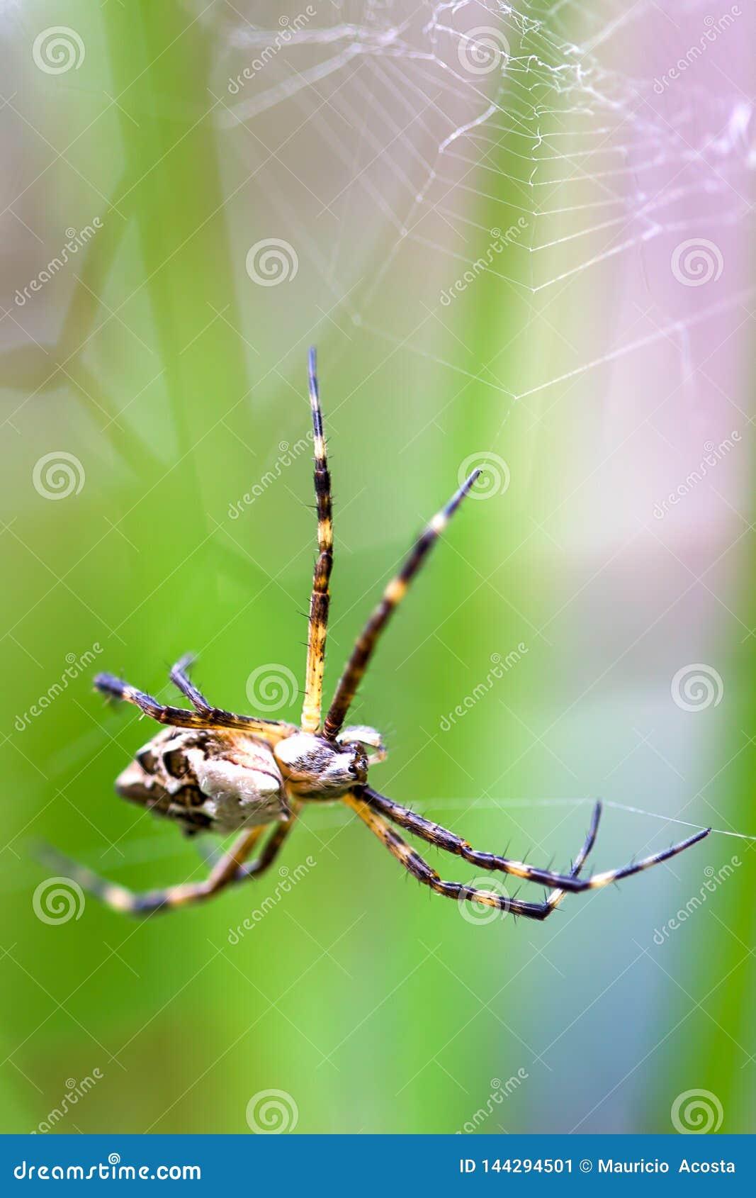 一只银色argiope蜘蛛的宏观摄影