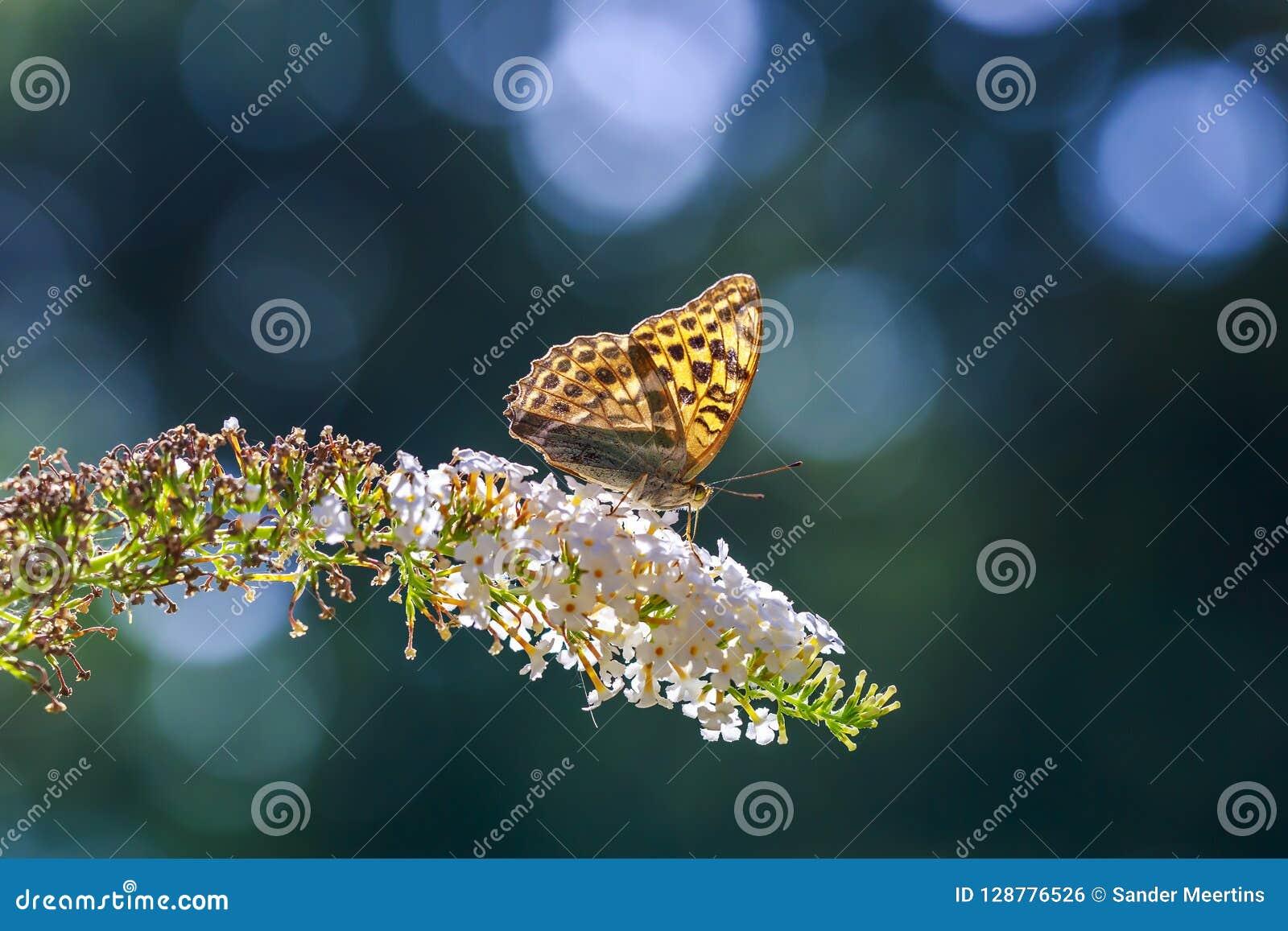 一只银被洗涤的贝母蝴蝶Argynn的侧视图特写镜头