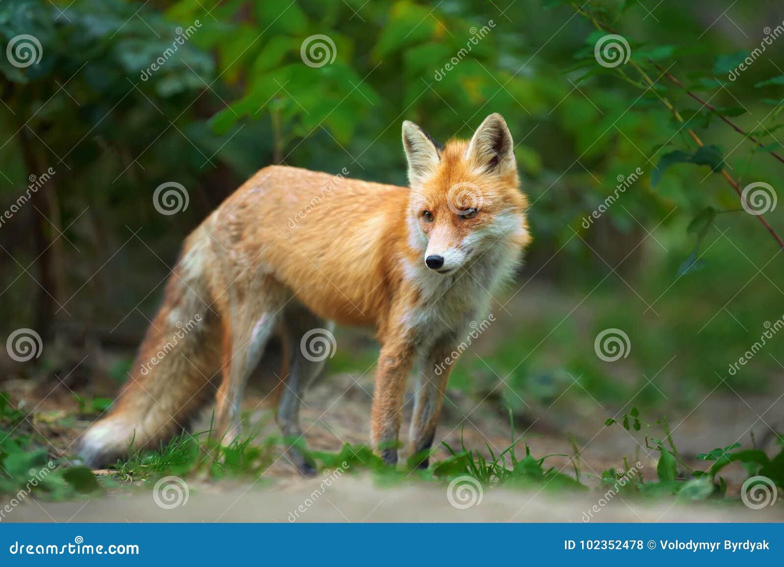 一只镍耐热铜狐狸狐狸的画象