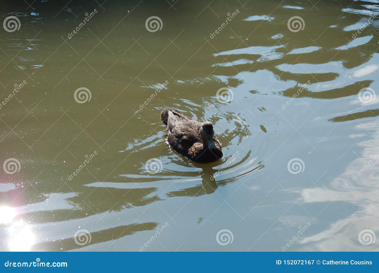 一只鸭子在一个绿色水池