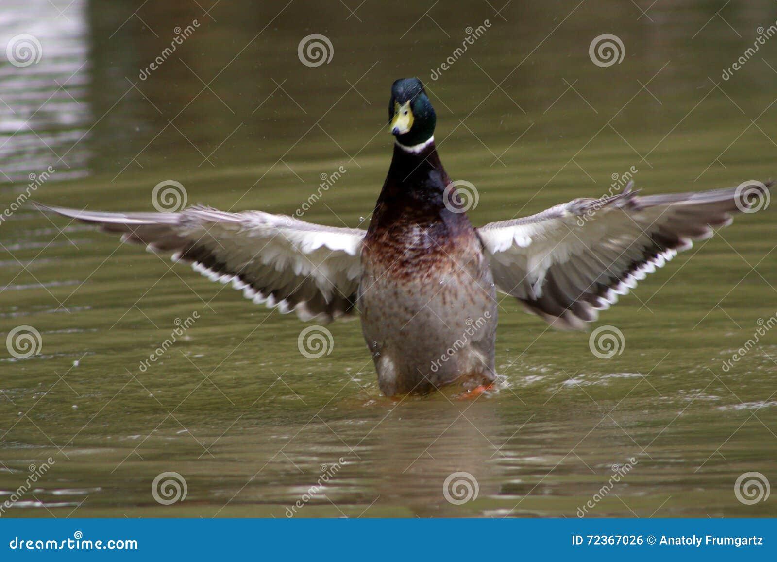 一只鸭子在池塘