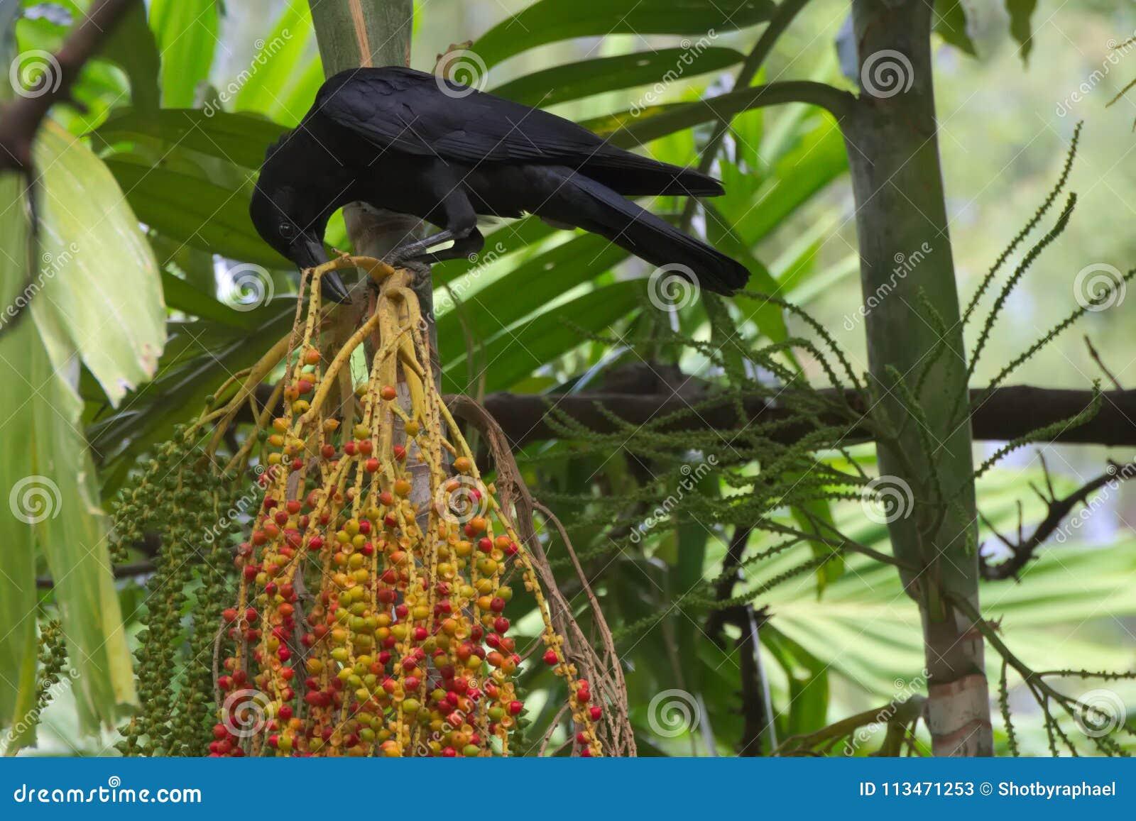 一只黑乌鸦,被栖息在明亮的棕榈群上在一个豪华的泰国庭院公园结果实,决定在它的下种膳食选择,