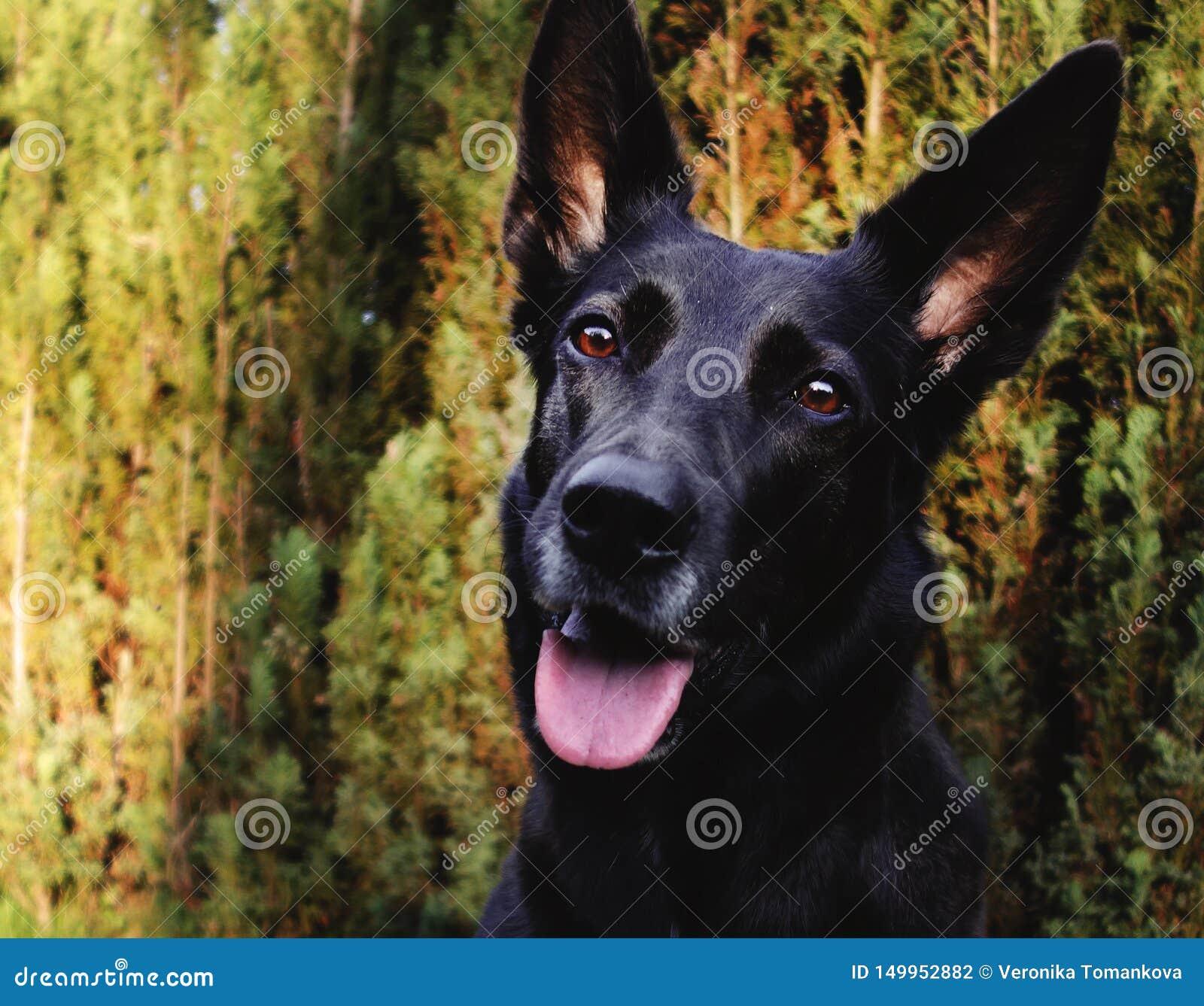 一只黑牧羊犬的画象在庭院的