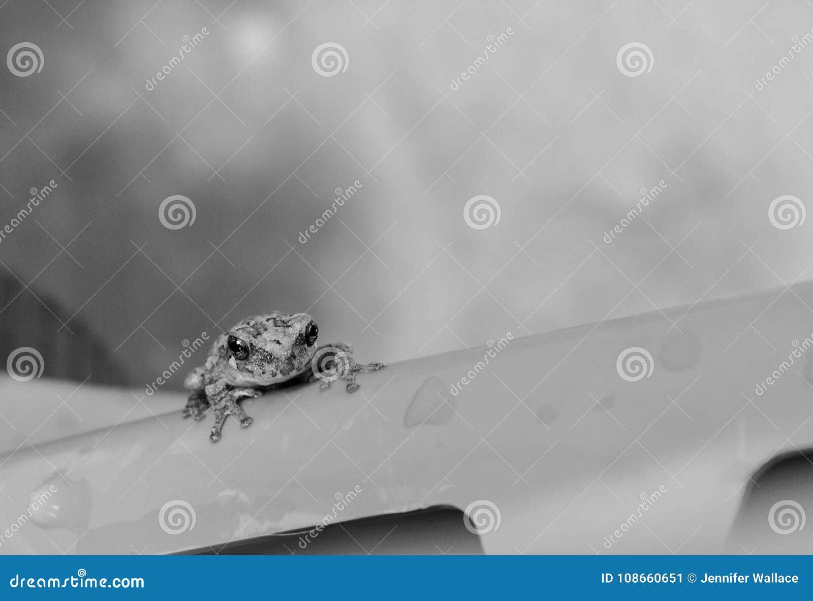 一只黑白小青蛙的宏观照片外面在雨中