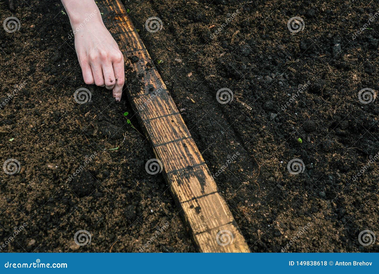 一名妇女的手手套措施的种植的年幼植物距离到土壤里 在花匠a的手上