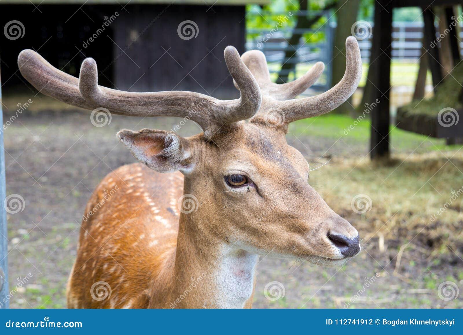 一头幼小国王` s鹿,在动物园的deere的头与鹿角的