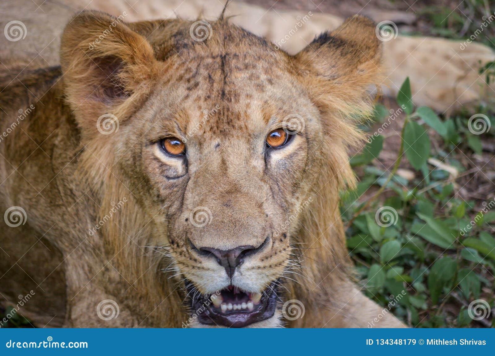 一头幼小狮子的强烈的眼睛在Bannerghatta国立公园