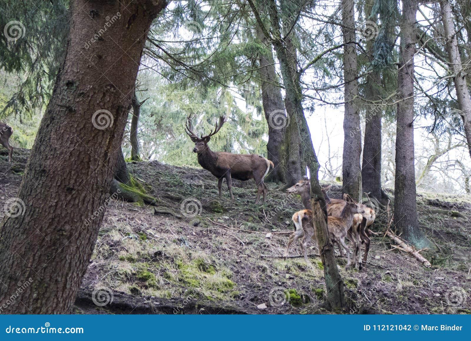 一头庄严棕色鹿在森林里