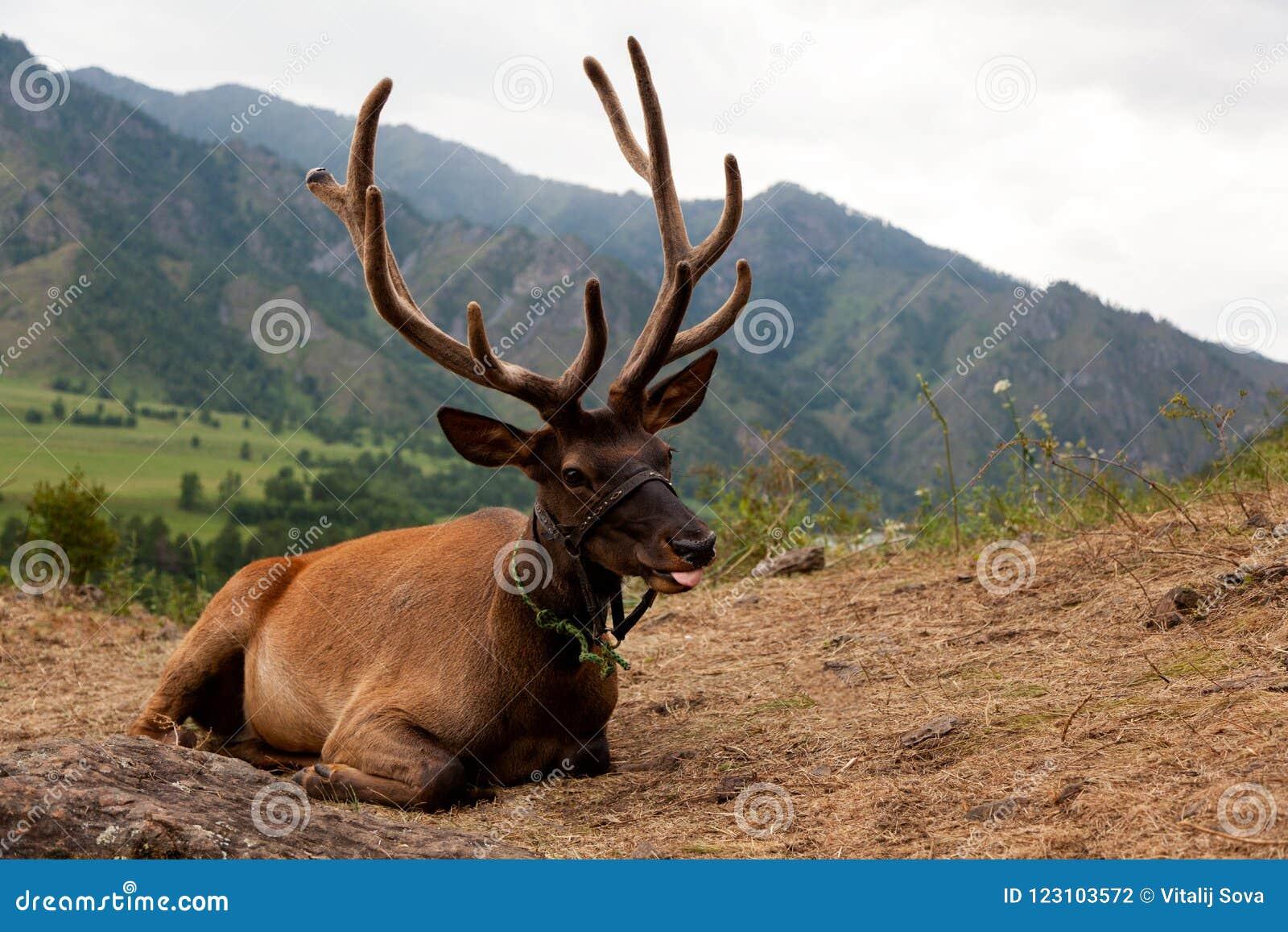 一头美丽的棕色鹿的特写镜头