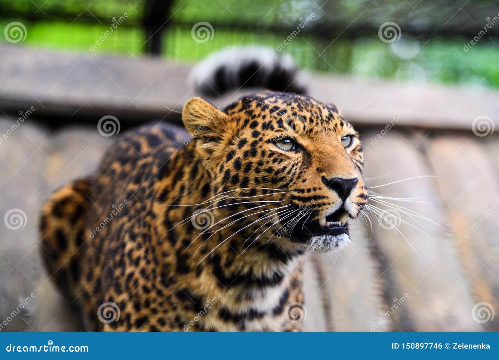 一头美丽的豹子的画象