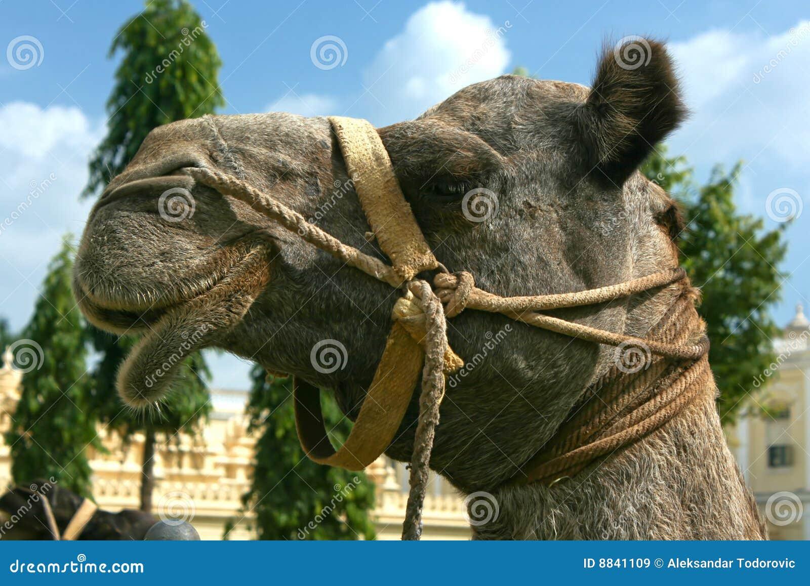 一头骆驼的题头在迈索尔宫殿的在迈索尔市