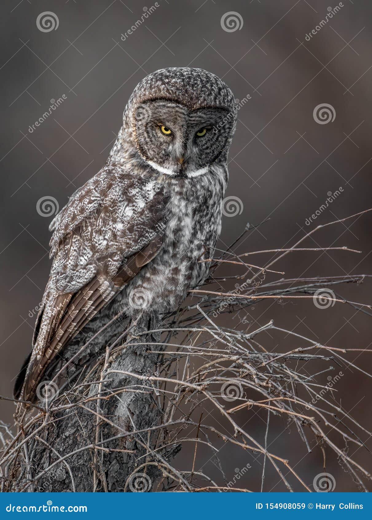 一张伟大的灰色猫头鹰画象