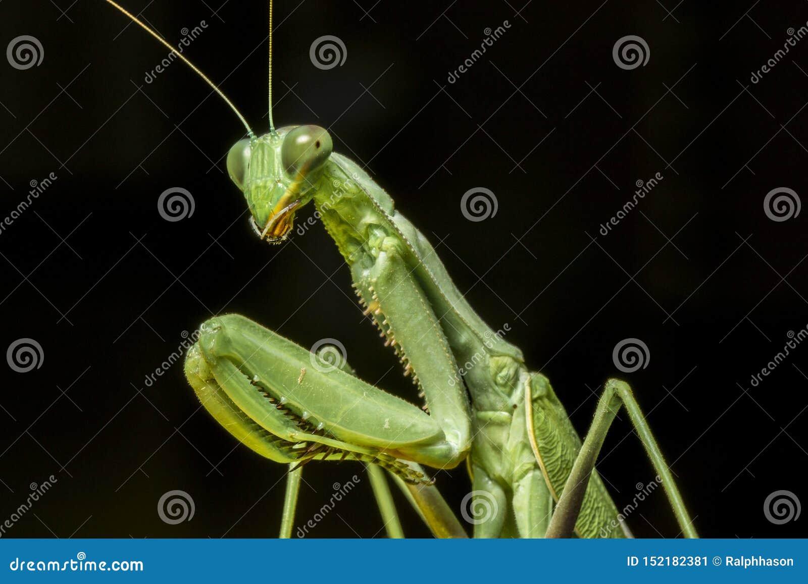 一张螳螂宏观画象