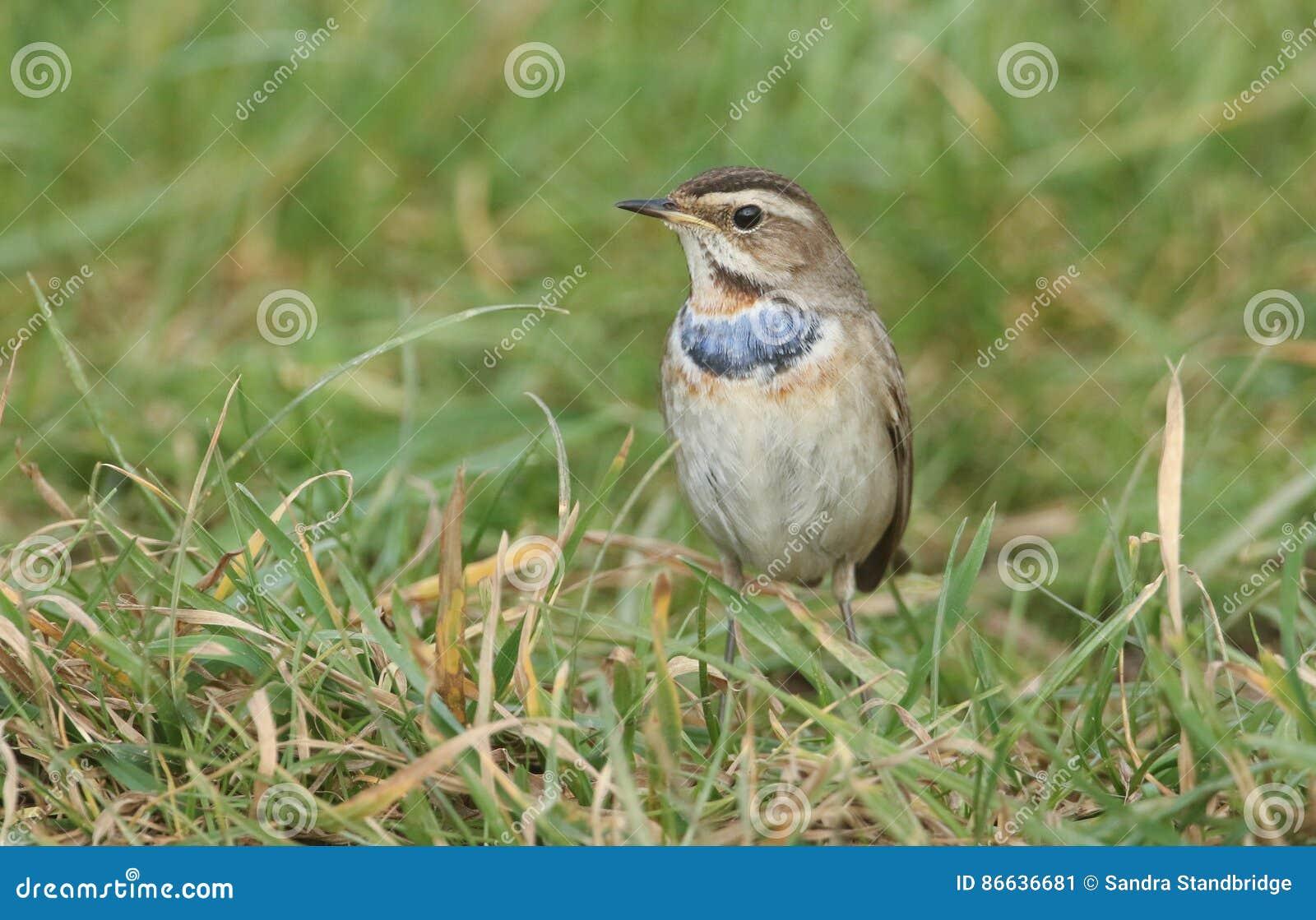 一惊人的罕见的公蓝点颏, Luscinia svecica,搜寻在草的食物