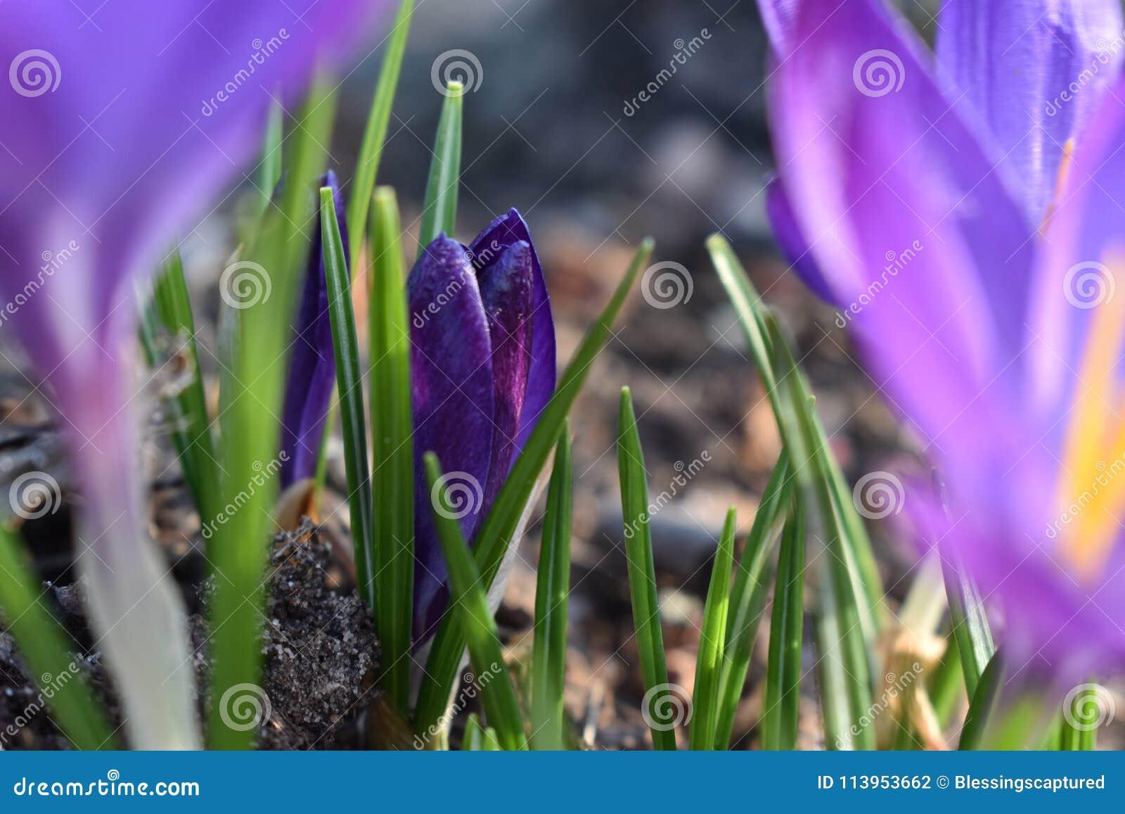 一朵小的紫色春天番红花